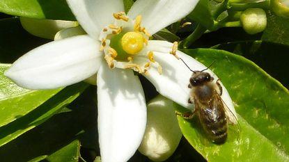Studie bevestigt dat pesticiden hersenen van bijen aantasten
