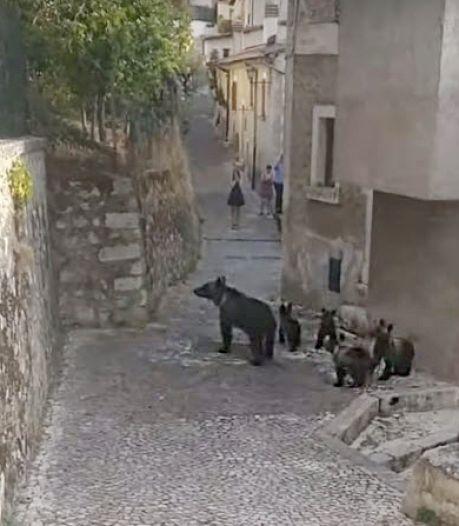 Unieke bruine beren uit Italiaans park 'terroriseren' omliggende dorpen