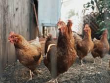 """L'étrange conseil des autorités sanitaires américaines: """"Arrêtez d'embrasser vos poulets"""""""