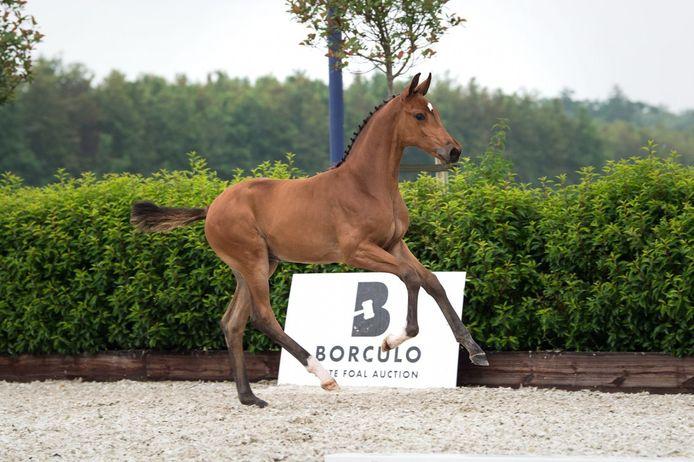 Catousha Key was deze week met een verkoopprijs van 45.00 euro het duurste veulen van de Eliteveulenveiling in Borculo.