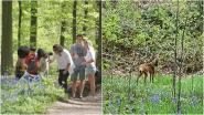 Een rustig hyacintenseizoen in het Hallerbos... Daar profiteren vooral de buren en de dieren van