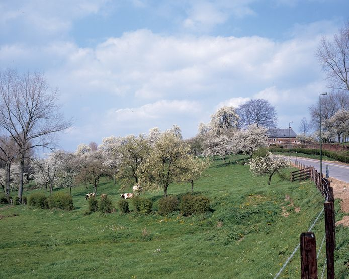 Hoogstamboomgaarden maken al sinds de middeleeuwen deel uit van het Haspengouwse landschap. Om dit stukje erfgoed in ere te houden, werd nu een plan opgemaakt.