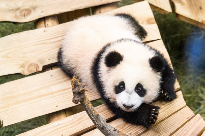 Fan Xing gaat in Ouwehands Dierenpark voor het eerst naar buiten.