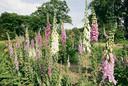 Het vingerhoedskruid is een populaire tuinplant vanwege het bloeiritme.