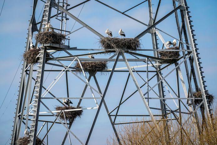 Onder hoogspanning: In een elektriciteitsmast aan de Waaldijk in de buurt van Hurwenen wordt gebroed alsof het leven ervan afhangt.