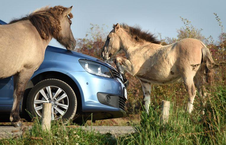 Konikpaarden ontdekken een auto om mee te spelen.  Beeld Marcel van den Bergh
