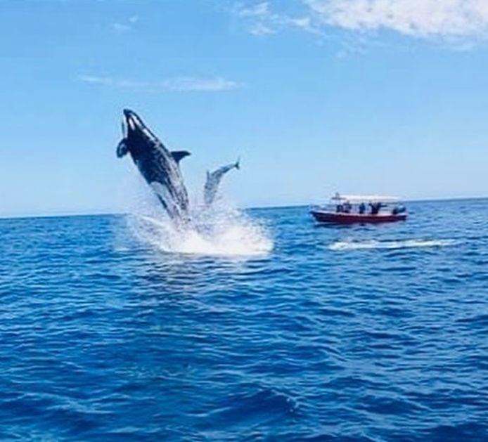 Une orque et un dauphin s'affrontent dans les eaux de la Basse-Californie, au Mexique.