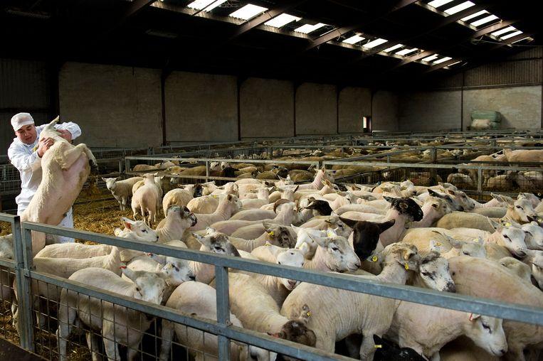 Bijeengebrachte schapen in een slachthuis. Beeld Robin van Lonkhuijsen