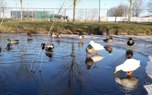 Dinsdag hadden de eenden langs Sportpark de Roodloop nog een groter wak tot hun beschikking.