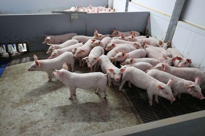 Varkens in een stal, foto ter illustratie.