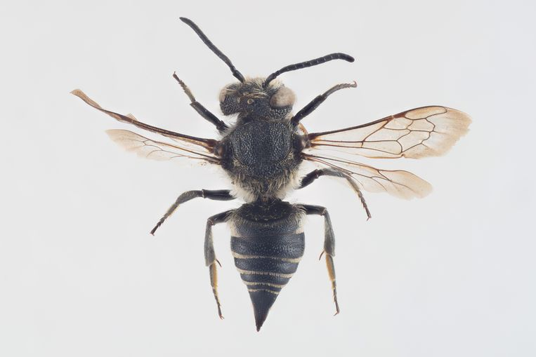 Slanke kegelbij (Coelioxys elongata) Parasitaire bij. Gebruikt dus andere bijensoorten als 'waard'. Weinig over het land verspreide vindplaatsen. Aan de kust, op de hogere zandgronden, in het heuvelland. Recentelijk zeer weinig vondsten. Beeld Arnstein Staverløkk/ Norsk Inst
