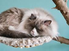Knuffelen met een kat bij een kop thee in het Nijmeegse kattencafé