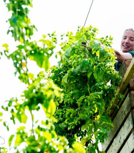 Hopteelt bloeit in Oost-Nederland: 'Je kunt wel een brouwerij beginnen, maar daarvan zijn er al zoveel'