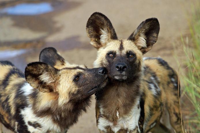 Een nies van een hyenahond betekent: ik wil gaan jagen.