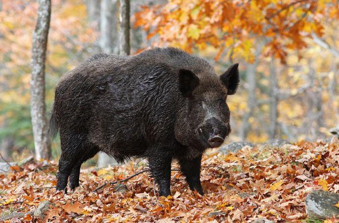 Wilde zwijnen vormen een groot risico voor de verspreiding van de Afrikaanse varkenspest.