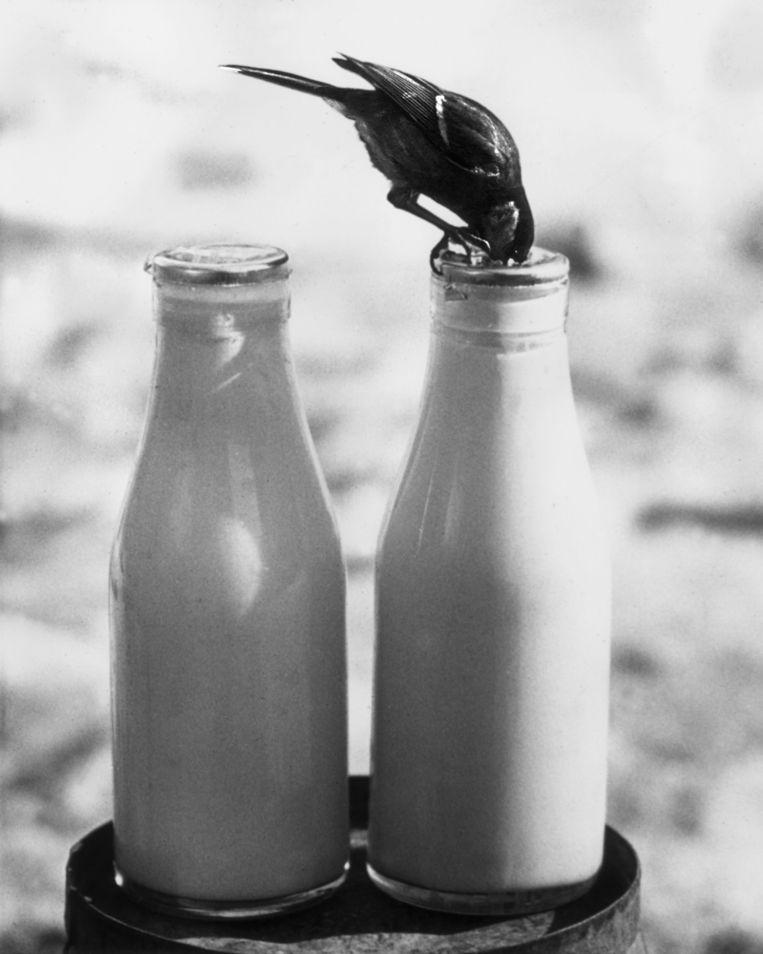 Stadsvogels zijn handig. In de vroege twintigste eeuw, in Engeland, kwamen kool- en pimpelmezen erachter hoe ze room konden snoepen uit melkflessen. Beeld Atlas Contact