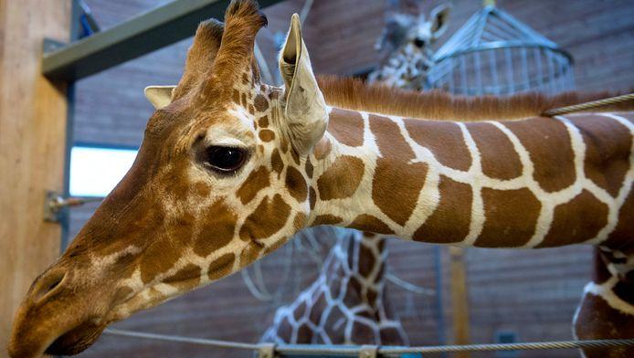Giraffe Marius.