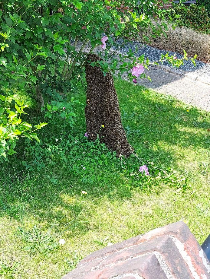 De bijen blijven hun koningin trouw. Samen met haar zitten ze op een twijg.