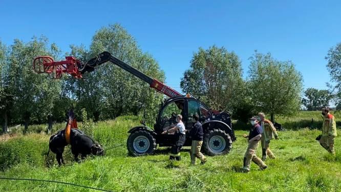 Brandweer uren in de weer om stier 'Juleke' (850 kg) uit gracht te redden