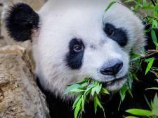Droombaan: Brenda werkt elke dag met reuzenpanda's