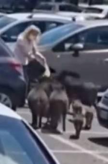 """Des sangliers """"rackettent"""" une cliente sur le parking d'un supermarché à Rome"""