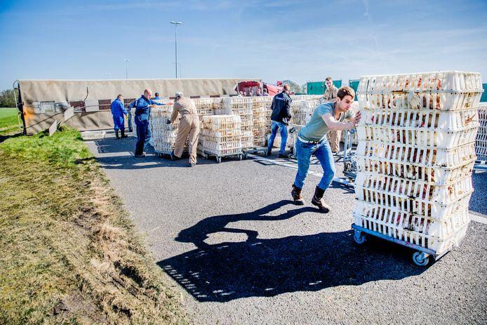 De reddingsactie voor 5000 kippen op A50 was rond het middaguur  in volle gang.