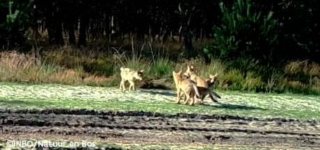 La louve Noëlla a eu plusieurs louveteaux cette année