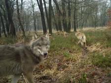 Aantal wolven op de Veluwe kan dit jaar verdubbelen, maar voor hoeveel is er eigenlijk plek?