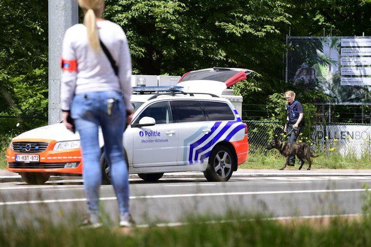 De politie moest de zoo van Planckendael bij Mechelen  afsluiten toen vanochtend een leeuwin ontsnapte en vrij in het park rondliep.  Beeld BELGA