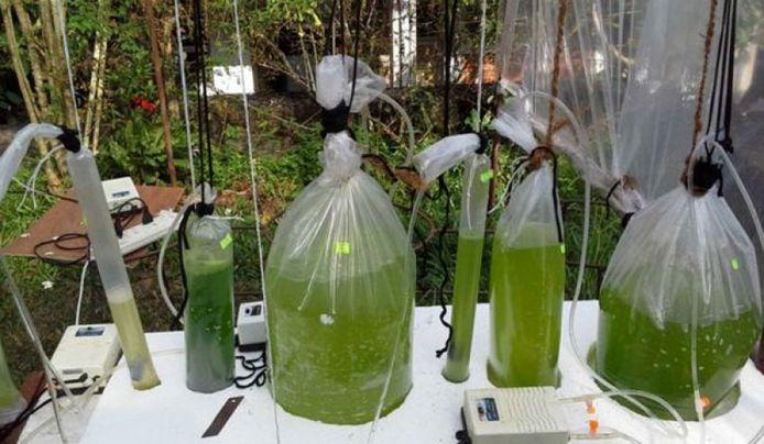 Olie op basis van algen.