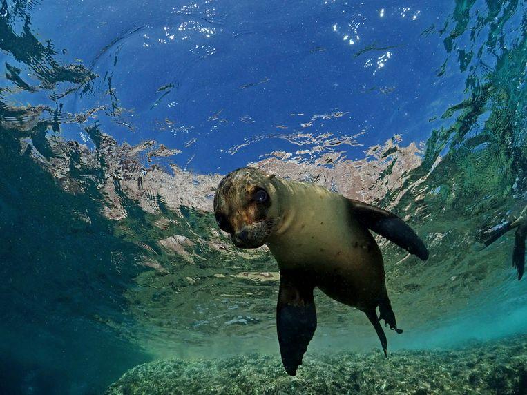 Een zeeleeuw bij het eiland Los islotes, Mexico. Beeld Buitenbeeld