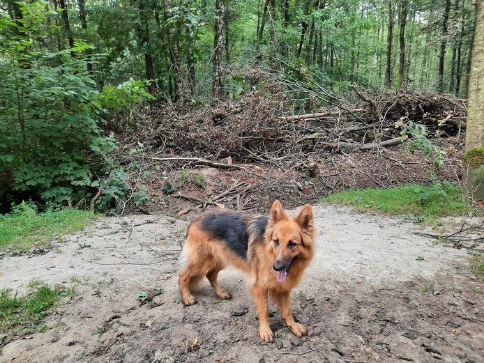 Een van de paden die door veel wandelaars met honden in dit losloopgedeelte van het bos gebruikt werden, blijkt geen 'legaal' pad te zijn en is dan ook geblokkeerd, om de natuur weer rust te geven.