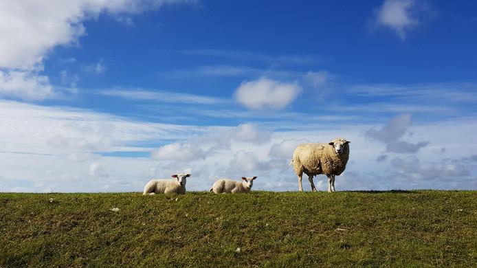 Op de dijk in Pieterburen, Groningen. De schapen stampen de dijken aan tijdens de begrazing en zorgen zo voor versteviging van de dijk.