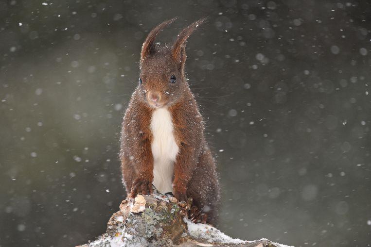 Een eekhoorn trotseert een sneeuwbui in Les Fourgs, Frankrijk.  Beeld Audren Morel