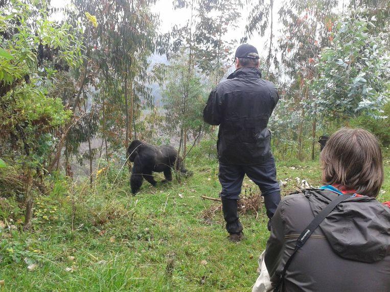 Toeristen bezoeken een groep berggorilla's Beeld Corlijn de Groot