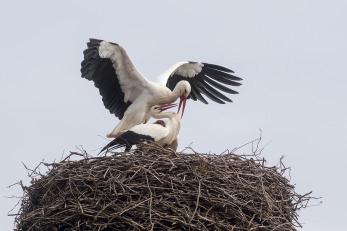 Twee ooievaars, op hun nest in het Oost-Duitse Loburg, hebben de lente al in hun kop en laten zien dat het voorjaar op komst is. Foto Klaus-Dietmar Gabbert