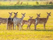Provincie gaat in gesprek met ondertekenaars petitie tegen afschieten Damherten