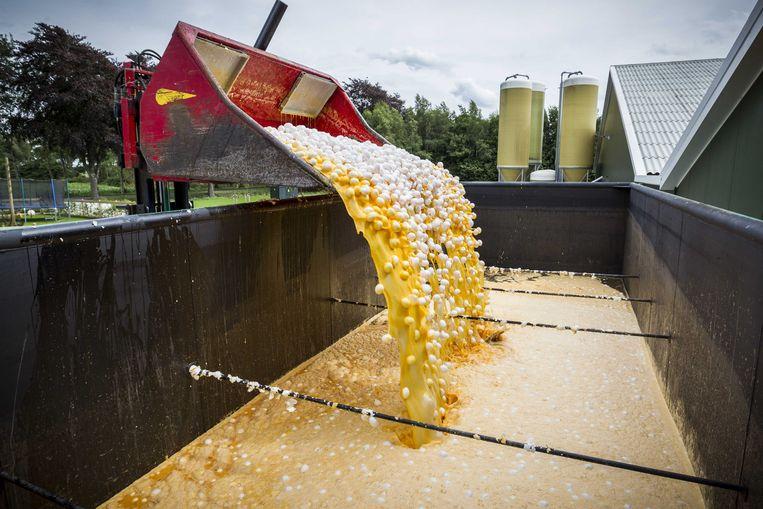 Eieren worden op last van de Nederlandse Voedsel- en Warenautoriteit (NVWA) vernietigd bij een pluimveehouder.  Beeld ANP