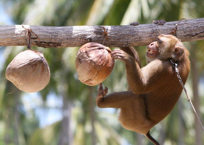 Een aapje moet in een boom klimmen om kokosnoten te plukken in Thailand.