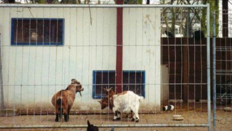Dieren in de kinderboerderij werden tijdens de MKZ-epidemie voor de zekerheid achter hekken gehouden. Foto: Wikimedia, creative commons Beeld