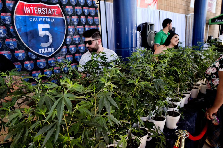 In sommige Amerikaanse staten, zoals Californië, is cannabis al een tijdlang legaal.  Beeld AP