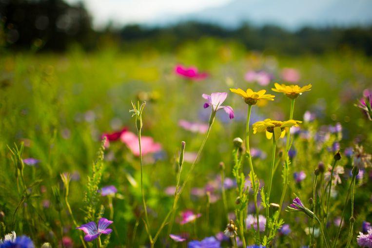 Wilde bloemen Beeld Getty Images