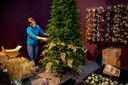 Deze en volgende week worden er tientallen kerstbomen opgetuigd in de tuincentra.