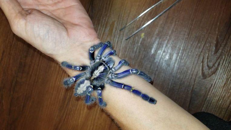 De blauwe tarantula is een bedreigde diersoort omdat hun natuurlijke habitat in India steeds kleiner wordt.