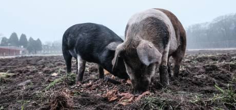 Ellen liet eigen varkens slachten: 'Als laatste avondmaal kregen ze appeltaart'