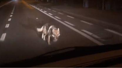 VIDEO. In de ban van verloren gelopen wolfshond