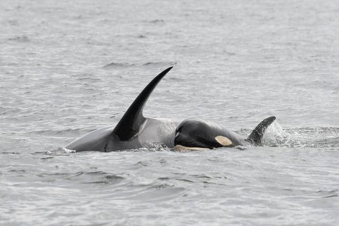Orka Tahlequah (J35) weigert haar overleden jong achter te laten.