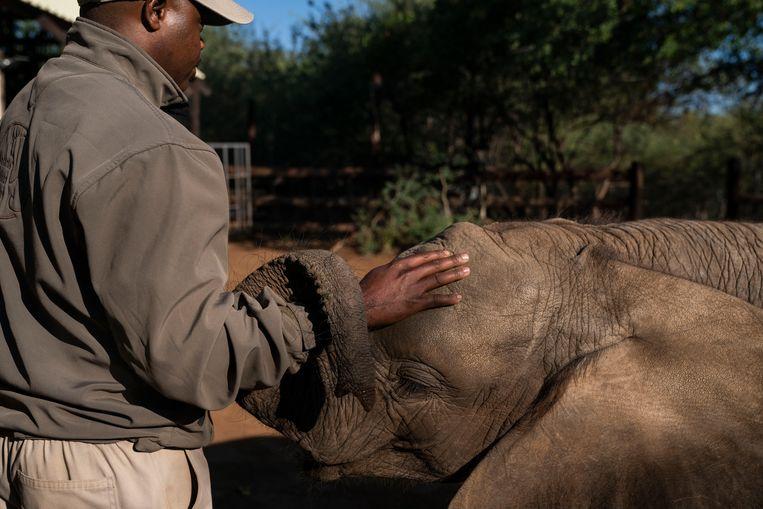De olifant Tuli met een verzorger in Elephants Without Borders, een opvangcentrum voor weesolifanten in Botswana. Beeld Getty