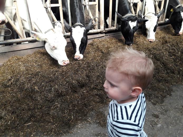 Vol bewondering kijken naar de koeien.