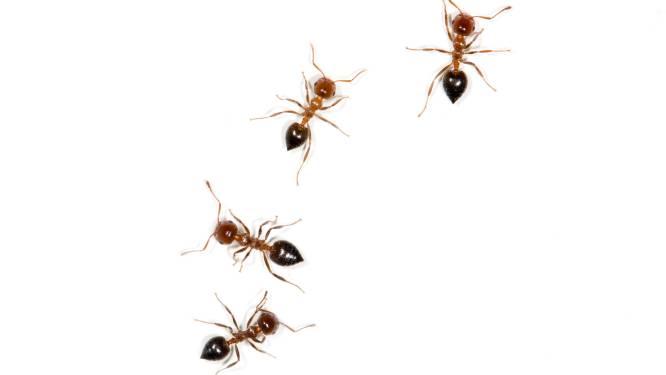 Rode mieren doen spinnen rechtsomkeer maken